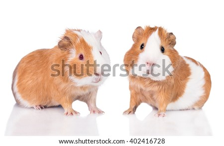 Two guinea pigs isolated on white  - stock photo