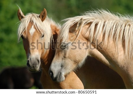 Two haflinger horses on the pasture.