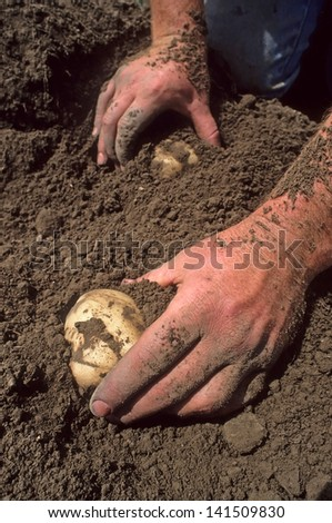 Two hands digging potatoes out of dirt. - stock photo