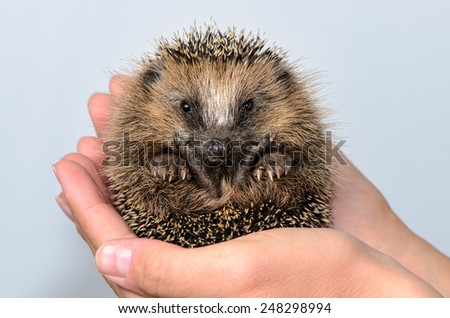 Two hands form a shell in which a hedgehog baby sits and looks at the viewer curious. Shot in studio against a white background - stock photo