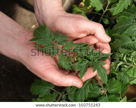 Two hands holding a branch of tomato plant