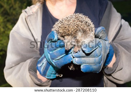 Two hands in a gloves in which a hedgehog sits and looks at the viewer curious. - stock photo