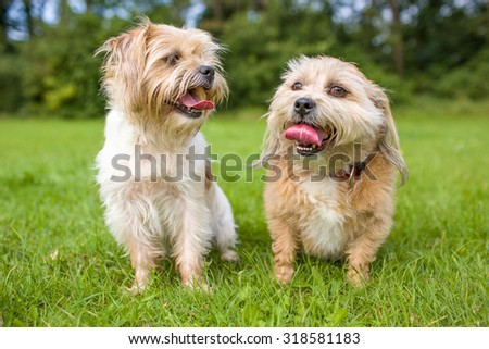 two happy and smiling boomer dogs are sitting next to each other in a field of grass.