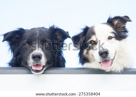 Two happy Australian Shepherd dogs look out at the camera, over the tailgate of a pick-up truck - stock photo
