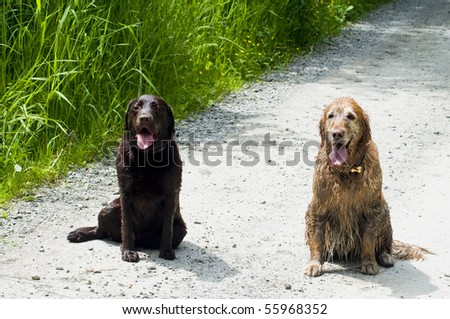 Two happy dogs, a Golden and Labrador Retriever, sitting together on a dirt road outside on a sunny day.