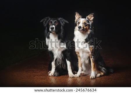 two happy dogs border collies on black background