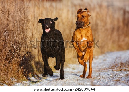 two happy dogs running together - stock photo