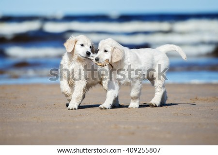 two happy golden retriever puppies on the beach