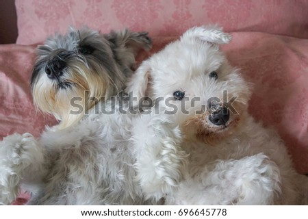 Two happy Miniature Schnauzer dogs with white and salt pepper colors are playing together