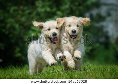 two happy running puppies of golden retriever - stock photo