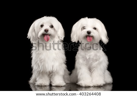 Two Happy White Maltese Dogs Sitting and Looking in Camera isolated on Black background - stock photo
