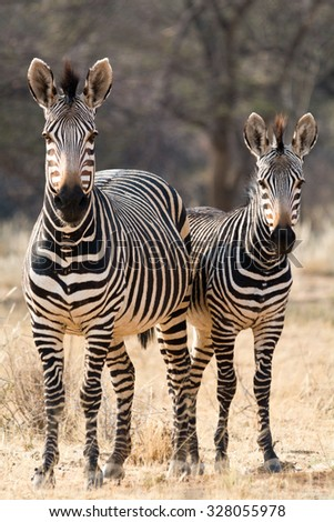 Two Hartmann Mountain Zebras. Seen and shot on self drive safari tour through several natural parks at namibia, africa.