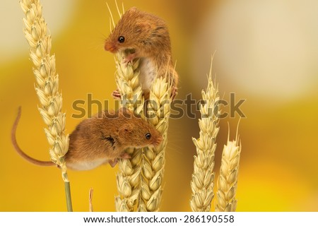 Two Harvest mouse climbing on wheat isolated against an autumn background - stock photo