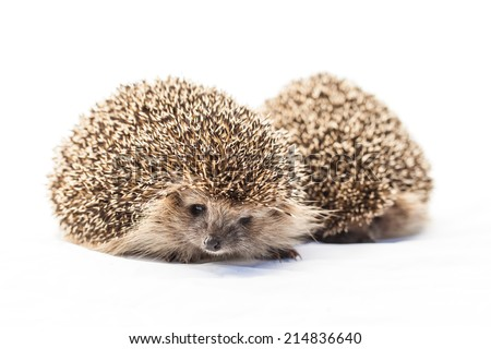 two Hedgehogs, Atelerix albiventris, 3 weeks old, in front of white background