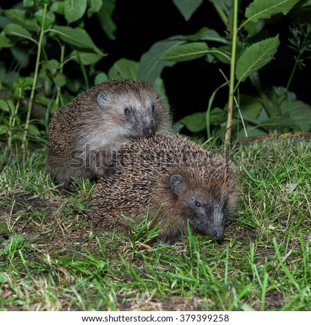 two hedgehogs busy to procreate in garden in early night - stock photo