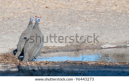 Two helmeted Guinea fowls at the water - stock photo