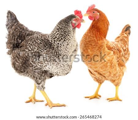 Two hens isolated on white, studio shot - stock photo