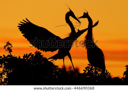 Two herons. Love on the tree with orange sunset. Wildlife scene from nature. Beautiful bird on the rock cliff. Beautiful birds in love. Courtship ceremony of heron in nesting season, Florida. - stock photo