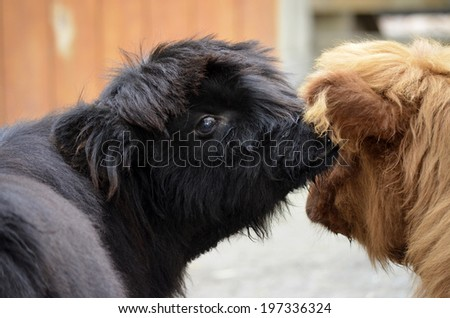 two highland cattle looks like they are saying, whisper into my ear and I will follow you anywhere - stock photo