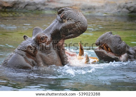 Two Hippopotamus with open mouth, playing in water and showing huge jaw and teeth