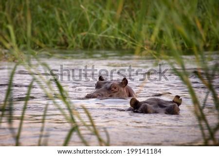 Two hippos in the Zambeze river, Zambia - stock photo