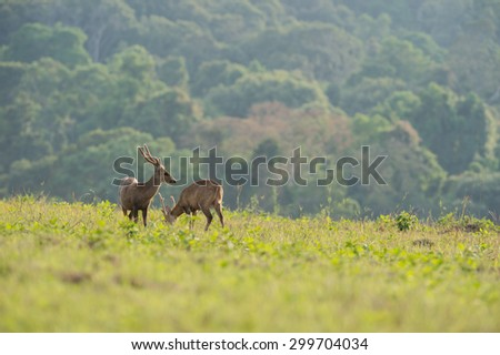 Two Hog deer stand alone on grassland - stock photo