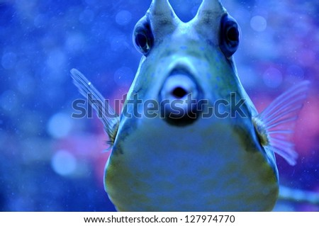 Two Horned Cow fish - stock photo