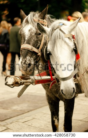 two horse heads harness for sightseeing in european city for tourists - stock photo