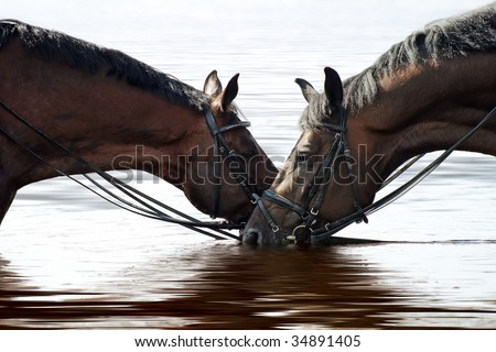 Two horses after dressage training drinking water from river