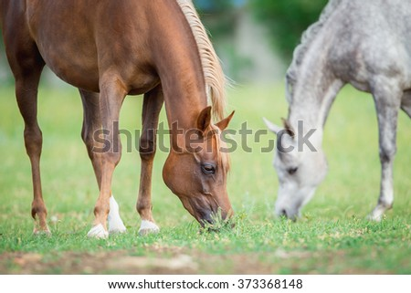 Two horses eating green grass in field, Arabian mares. - stock photo