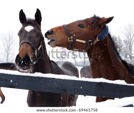 Two horses (Equus ferus caballus) interacting. - stock photo
