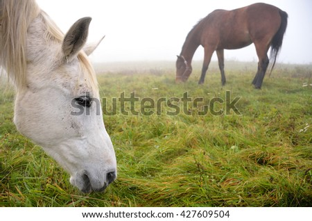Two horses grassing on the autumn meadow during calm morning. One horse is close-up camera. - stock photo