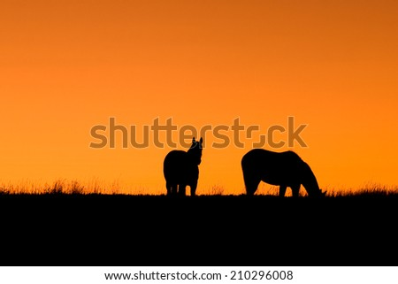 Two horses graze in a field at sunset on a ranch in Colorado. - stock photo