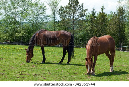 Two Horses Grazing in a pasture in New Brunswick - stock photo