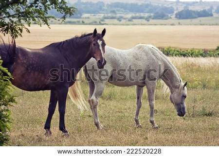 Two horses grazing in the field - stock photo