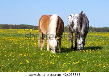 Two Horses head to head enjoy to pasture on a flowering meadow while the springtime sun is shining.