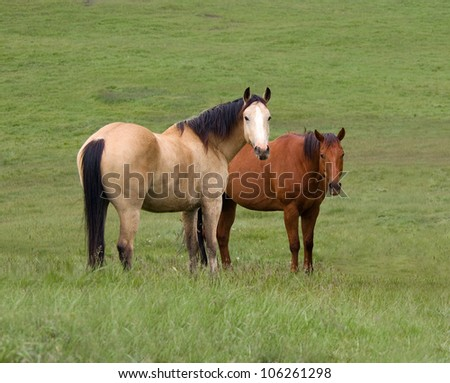 Two Horses in Green Meadow - stock photo