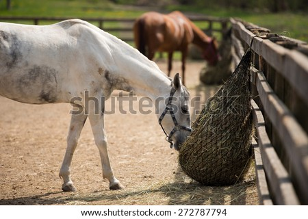Two horses in the paddock and bent over eating dry grass - stock photo