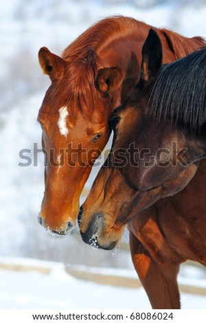Two horses in winter field - stock photo