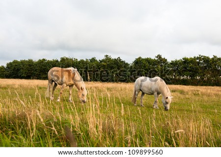 Two horses on a field in Denmark - stock photo