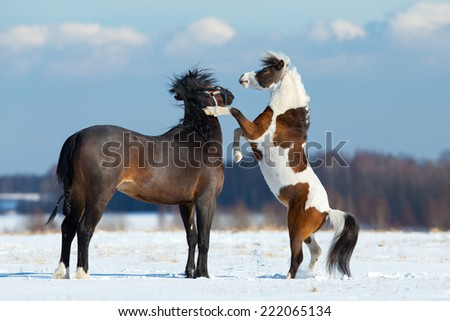 Two horses playing in the snow - stock photo