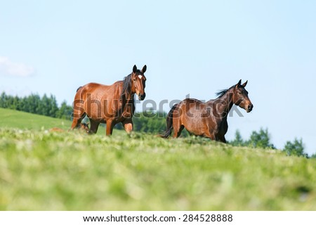 Two horses running in summer pasture. - stock photo