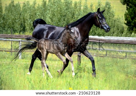 two horses running or cantering, a mare and a foal - stock photo
