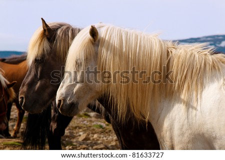 Two horses with long manes side by side - stock photo