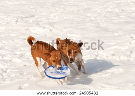 Two hounds in the snow, who owns the frisbee ? - stock photo