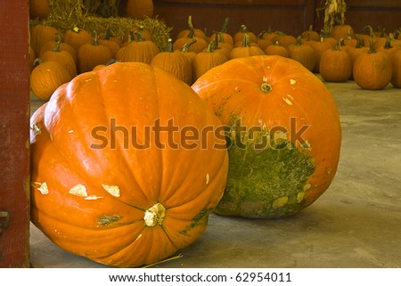 Two huge pumpkins in forefront with many others in background ready for sale at produce market - stock photo