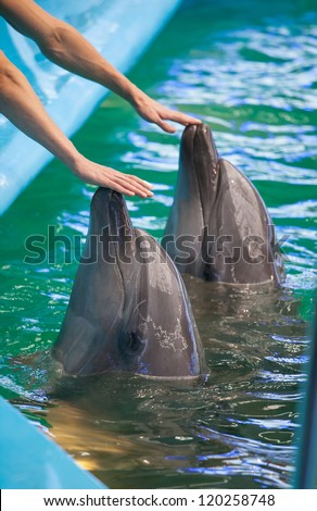 Two  human hands touching dolphins