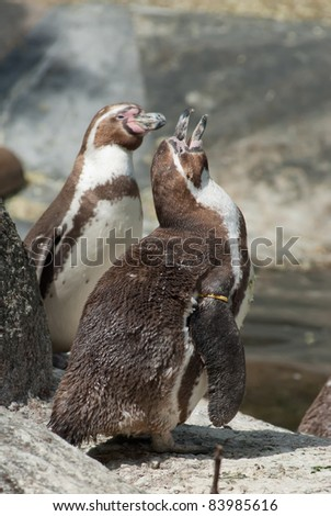 two Humboldt penguins standing
