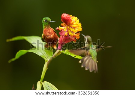 Two hummingbirds colorful rufous and shining green Boissonneaua matthewsii Chestnut-breasted Coronet and Speckled hummingbird in feeding on red and yellow flower. Blurred dark green background.   - stock photo