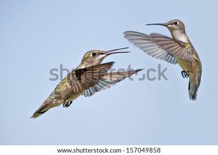 Two Hummingbirds in Flight - stock photo